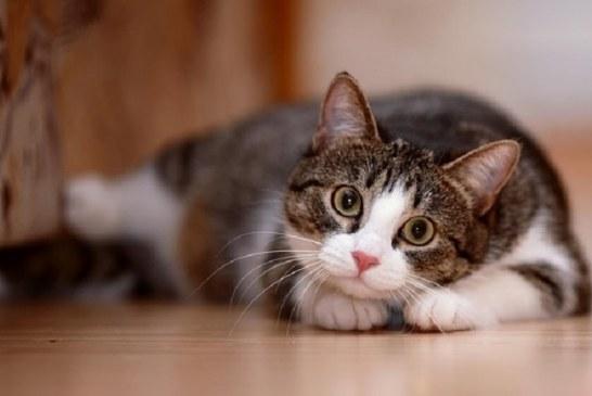 Pelihara Kucing Dapat Menurunkan Resiko Serangan Jantung